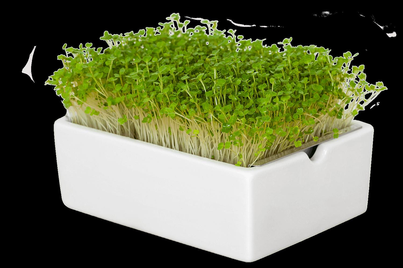 Rauke Leimlinge in der Heimgart Keimschale - Microgreens