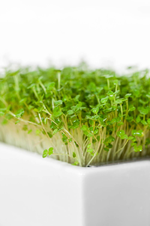 Microgreens in der Keimschale von Heimgart