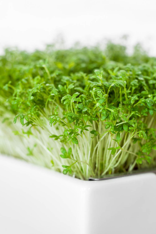 Microgreens - Bio-Keimlinge von Heimgart