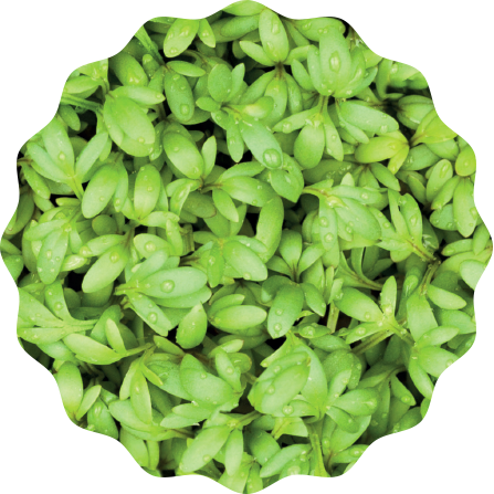 Kresse Microgreens