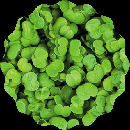 Rauke Microgreens