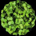 Senf Microgreens