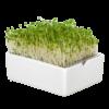 brokkoli microgreens