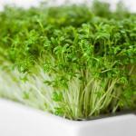 Microgreens Brokkoli Keimlinge