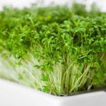 Garden cress microgreens seed pads
