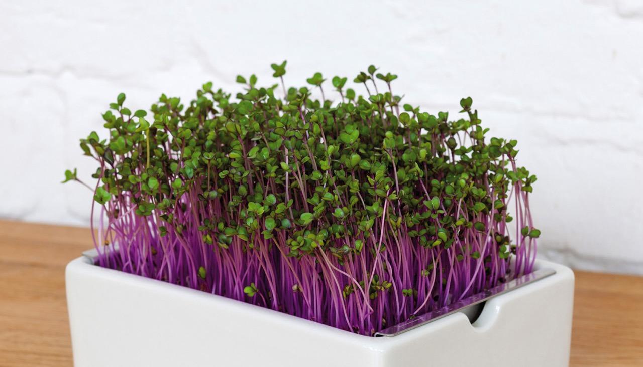 Microgreens in der Keimschale
