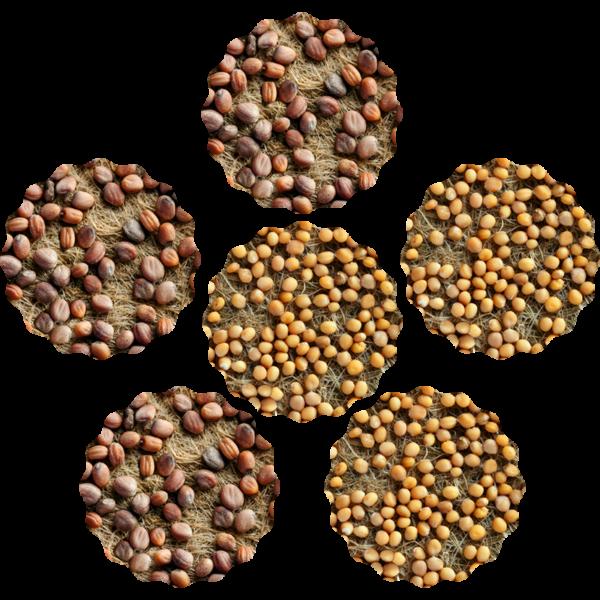 radieschen-senf-microgreens