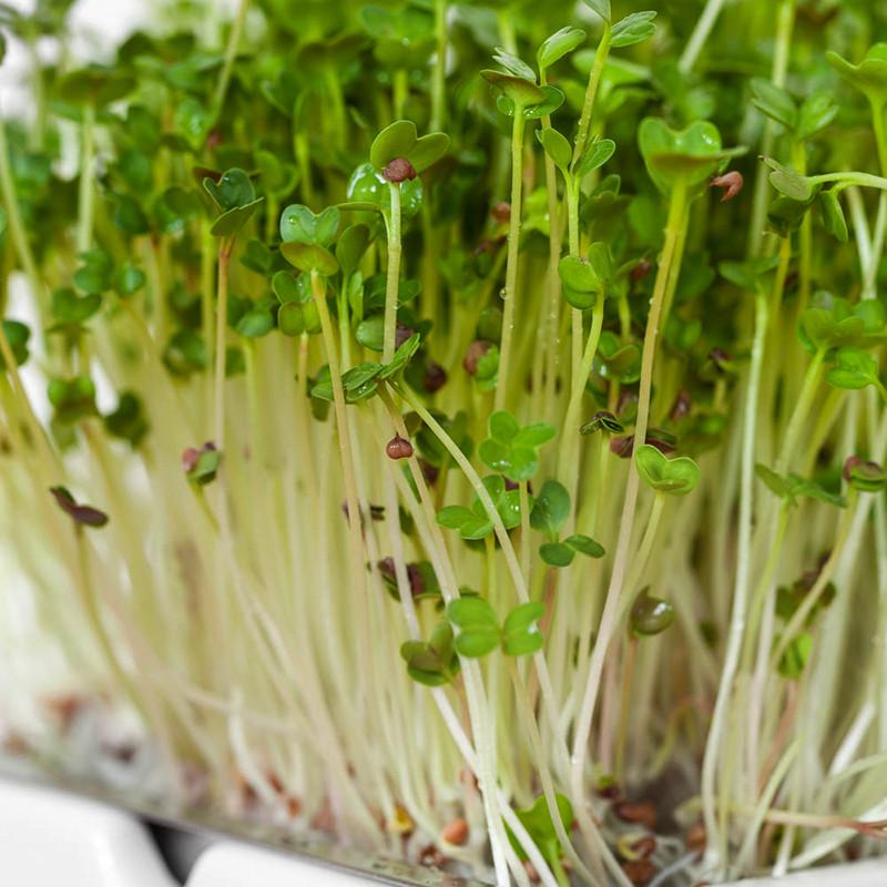 Microgreens Radieschen Keimlinge