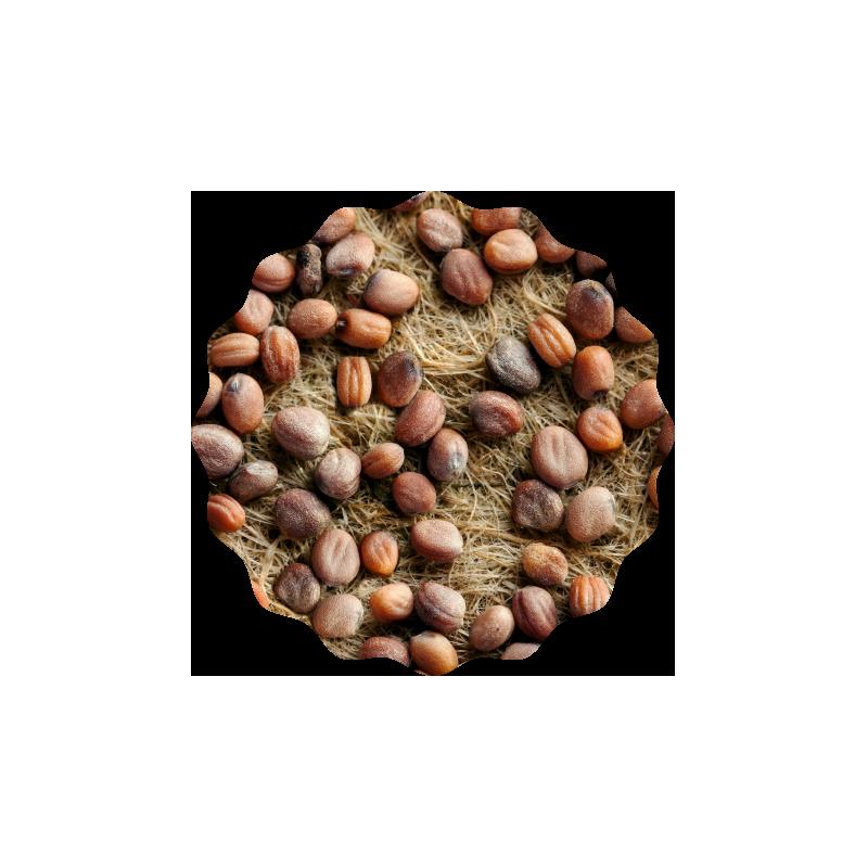 Radieschen Microgreens