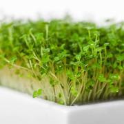 Microgreens Rauke Keimlinge