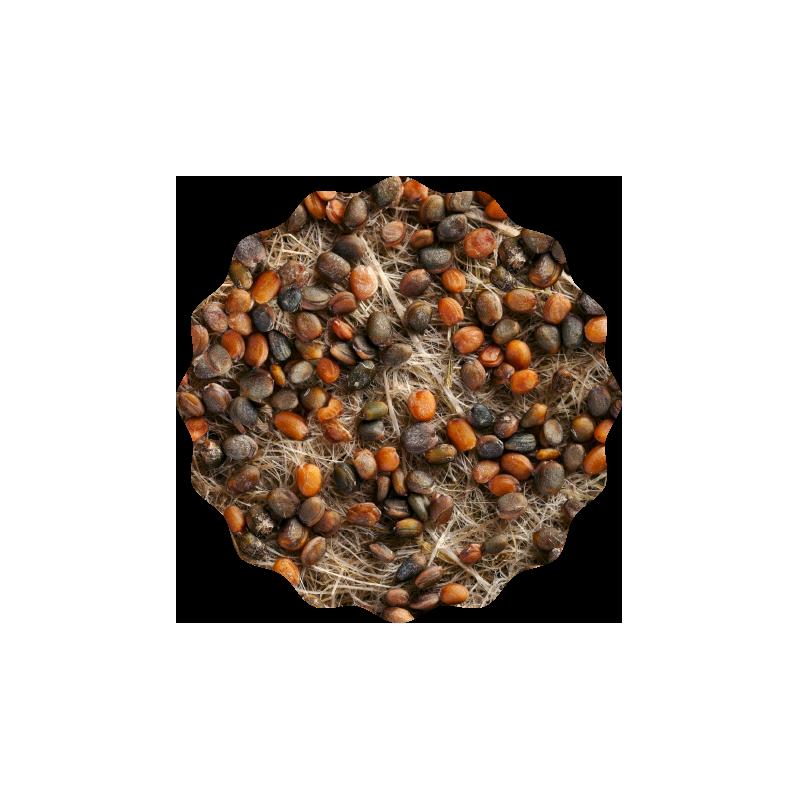 Rauke (Rucola) Microgreens