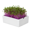 rotkohl microgreens