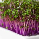 Red cabbage microgreens seeds