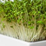 Microgreens Senf Keimlinge