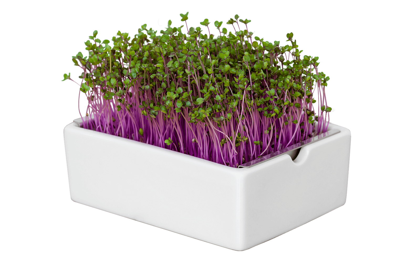 Heimgart Rotkohl Microgreens