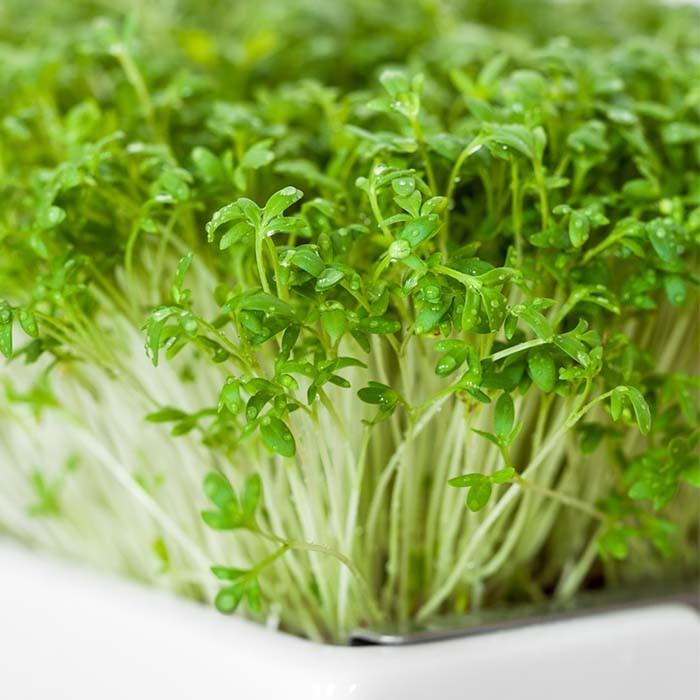gartenkresse microgreens