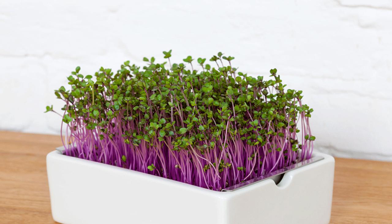 Heimgart Microgreens in der Porzellanschale